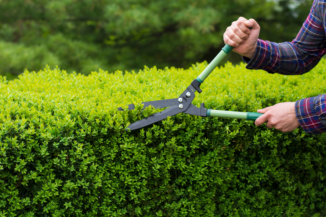 Man in long sleeved shirt using hedge trimmers